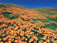 Carpet of Orange